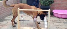 Bella is a very cleaver Belgian Malinois. But, this toy keeps her busy for hours without a need for her owner to lift so much as a finger.