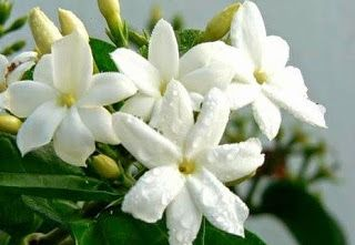 Khasiat Bunga Melati  #flower #bunga #kesehatan #health #kecantikan #beauty #herbal
