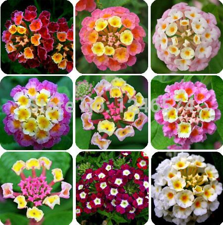 lantana: full sun, july bloom, annual