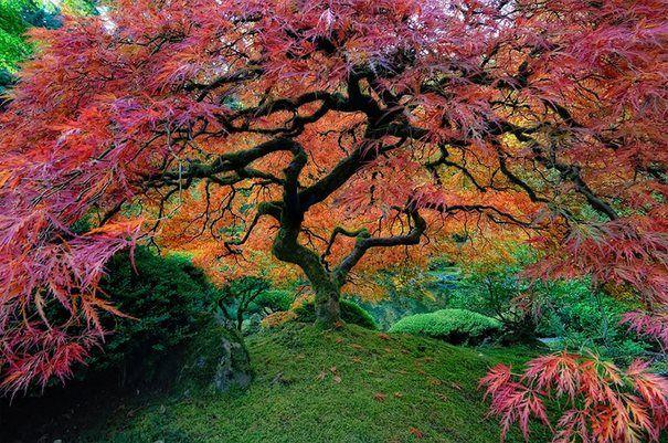 16 από τα ωραιότερα δέντρα του κόσμου ~ Όμορφος ιαπωνικός σφένδαμος στο Πόρτλαντ , Όρεγκον ΗΠΑ
