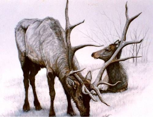 Black And White Elk Drawings