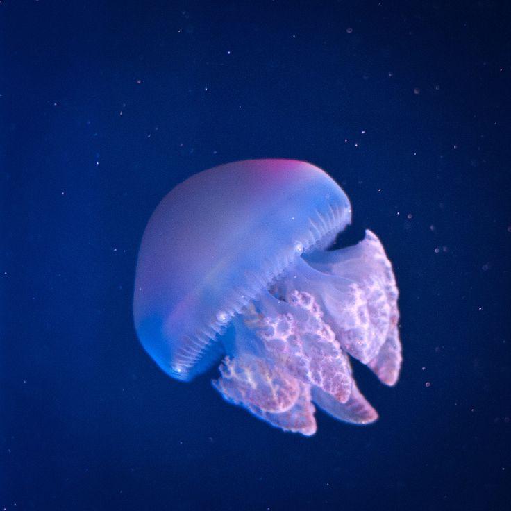 cd7b2640913aeb155992bdda07b4d90f  jellyfish species wallpaper pictures