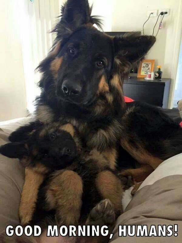 Good morning, humans! German Shepherd