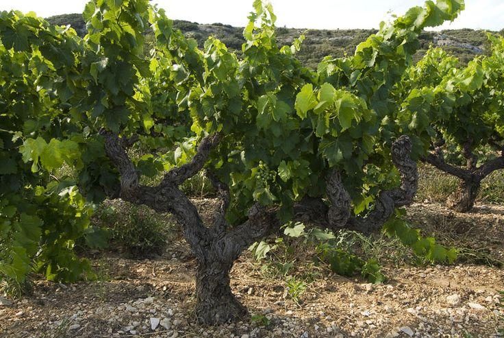 Venez découvrir les vignes du château Montfaucon en réservant votre visite sur Wine Tour Booking