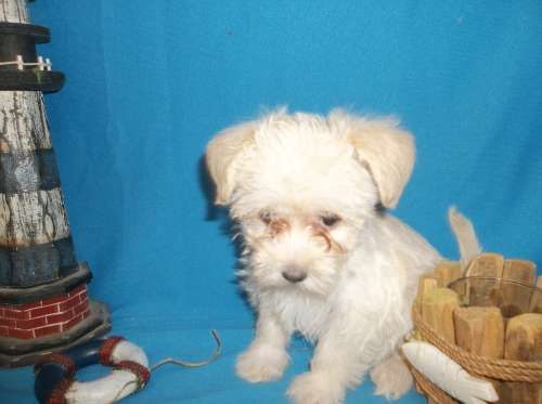 Morkie puppy for sale in TUCSON, AZ. ADN-59270 on PuppyFinder.com Gender: Female. Age: 8 Weeks Old