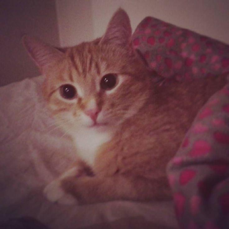 Rakas poikani Lihapulla Kujanen  #cat #catstagram #catsofinstagram #catsagram #meatball #ginger #love by kiripirkko