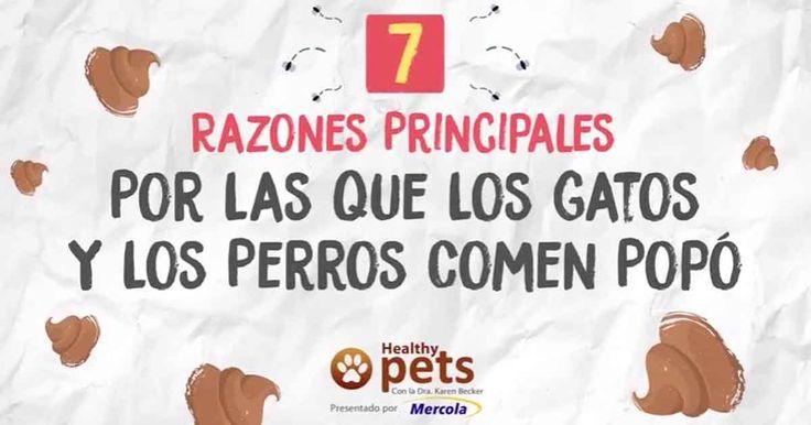 ¿Comer heces es normal para los perros? ¿Deberías estar preocupado? Descubre lo que los investigadores han averiguado acerca de los perros que comen heces... http://mascotas.mercola.com/sitios/mascotas/archivo/2017/09/13/porque-perros-gatos-comen-popo.aspx