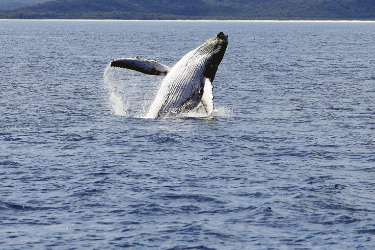 Migrating Humpback Whale, Bruny Island
