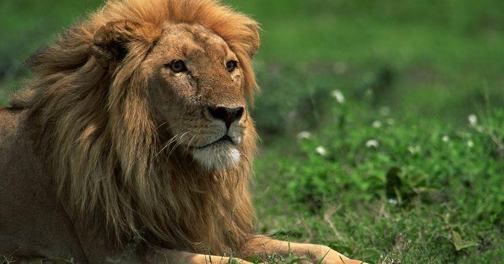 Estatuas famosas de leones. A pesar de que pocos países aún tienen poblaciones de leones salvajes, estas majestuosas criaturas conocidas por sus largas melenas y su imponente comportamiento son símbolos de fuerza, valentía y orgullo. Son incontables las estatuas de leones que hay en el mundo, que sirven como simbólicas guardianas y protectoras de los palacios y parques . ...