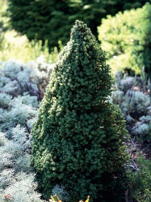 The Best Conifers for Your Yard
