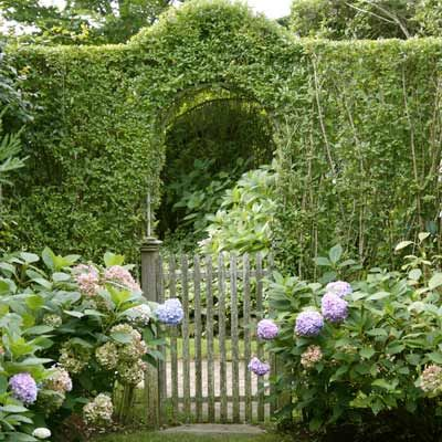 The Privet Hedge Trained over a metal arch, privet entices visitors to peek beyond the garden gate.
