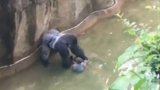 USA  Matan a un gorila para salvar a un niño QUE CAYO DENTRO DE SU HABITA   Mataron a un gorila en EEUU para salvar a un niño que había caído en su foso  Los guardias del zoológico de Cincinnati decidieron matar al animal de 180 kilos para no correr riesgos; el chico de tres años sólo tuvo heridas leves y se encontraba fuera de peligro