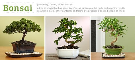The bonsai is a delightful and fun plant to have around the home or office. Though it does need proper care and attention, don't let that intimidate you.