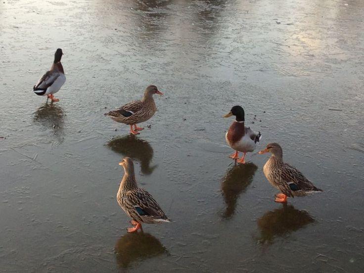 Anatre sul nostro laghetto ghiacciato #winter #iced #lake #ducks #birds #animals