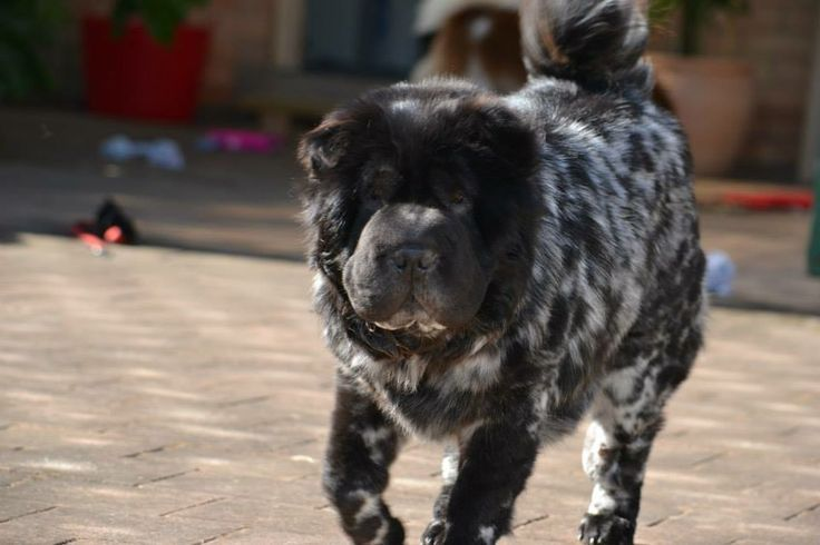 bear coat shar pei for sale - Google Search