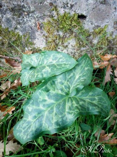Foglie verdi maculate