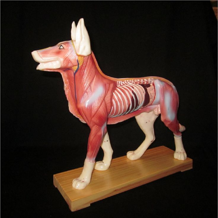 Canine Veterinary Acupuncture & Muscle Model | Applam Anatomical ...