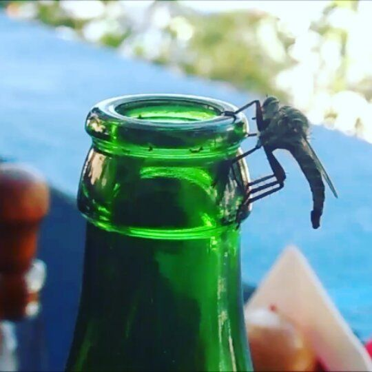 ..one more clip in my phone from last month while on holiday. 'Keep an eye on your beer in greece or a barfly will sneak in and help himself. Being Irish this is a rarity of nature. Hope you enjoyed your sip Mr.Fly, now feck off!!! 🍺🐝 __________________________________    #tablemanners #barfly #nature #insect #fly #beer #instabeer #mythos #bier #olut #öl #greece #karpathos #eatingout #booze #life #thatslife #drink #smallcreatures #instanature #naturevideo #wildlife #animals #instainsect…