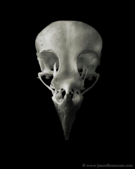 Sparrow Bird Skull 8x10 Fine Art Print by TheGreyLodge on Etsy, $30.00