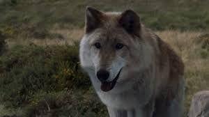 Znalezione obrazy dla zapytania dire wolf