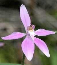 Caladenia latifolia