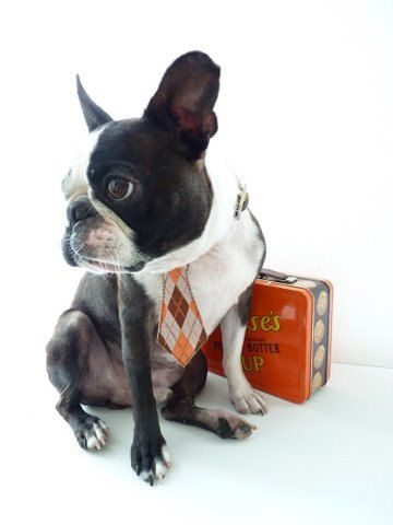 Boston Terrier - ready for school