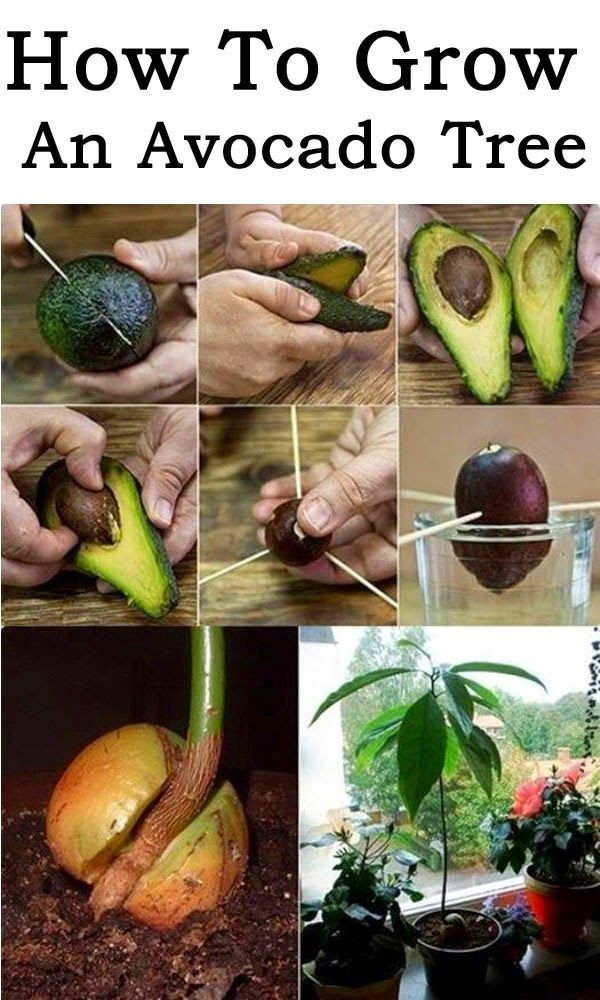 How To Grow An Avocado Tree | Topideas.atlas-adventures.com