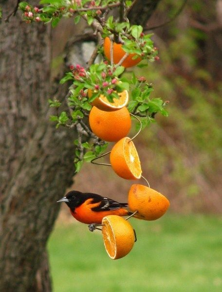 DIY- Birdfeeder Idea with a  Baltimore Oriole sitting on an orange half =)