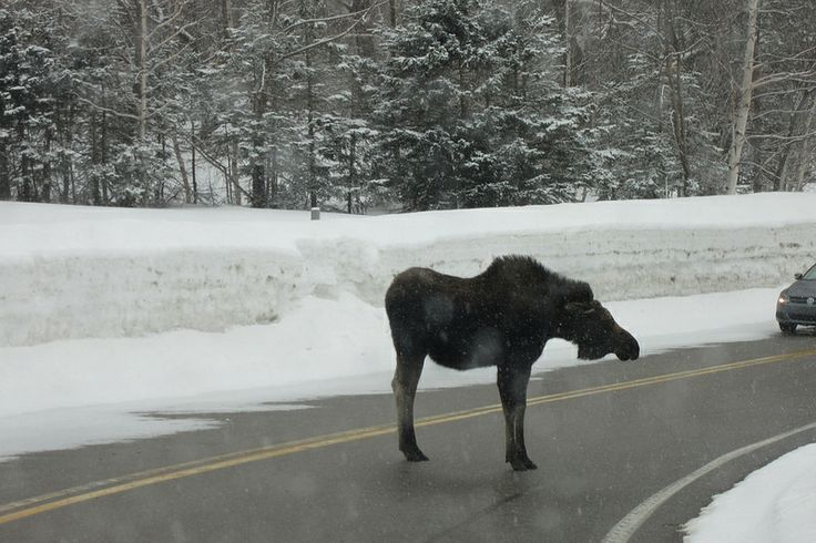 """""""why did the moose cross the road?"""" experience wildlife on your drive to us! http://www.cabotshores.com/"""