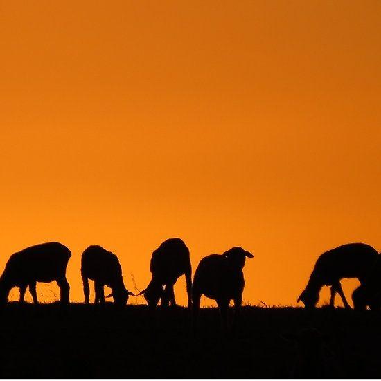 Sheep silhouette Sunrise