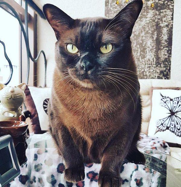 50 Best Burmese Cat Names Burmese Cat Cat Care Cat Adoption