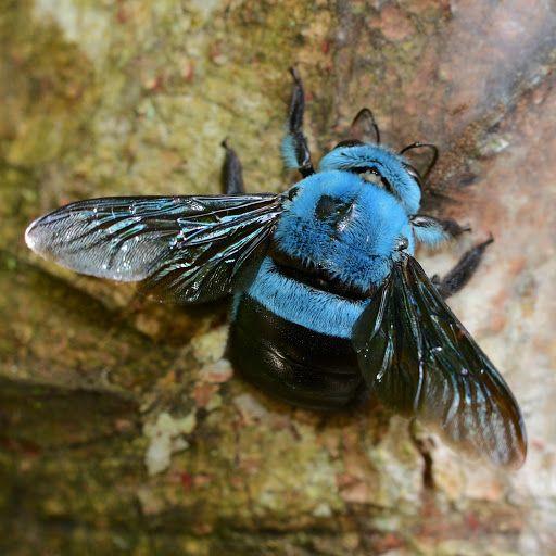 Blue Bee. Será que produz mel?  Da cor da Aninseto ela é!! =) by Aninseto Dedetizadora