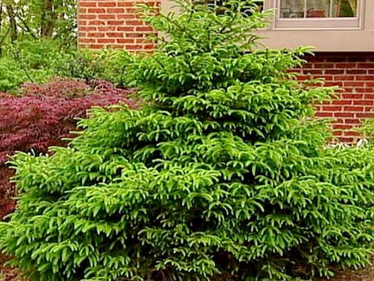 17 best images about bridgeport plants trees on for Low maintenance evergreen shrubs