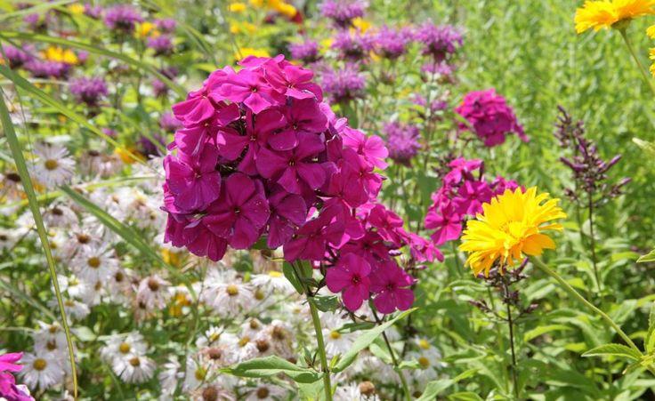 Phlox: Gestaltungsideen fürs Beet -  Wer sich eine langandauernde Blütenpracht im Garten wünscht, ist mit Phlox gut beraten: Seine Arten blühen nämlich vom Früh- bis zum Spätjahr. Wir zeigen außerdem, wie man die Flammenblume gut kombinieren kann.