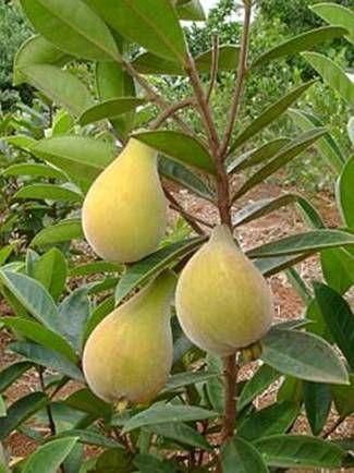 Perinha do campo - eugenia klotzschiana-  Frutifica nos meses de Dezembro a Janeiro. Os frutos são consumidos preferencialmente na forma de sucos com leite ou usados para fazer sorvetes, bolos e geléias.                                                                                                                                                                                 Mais