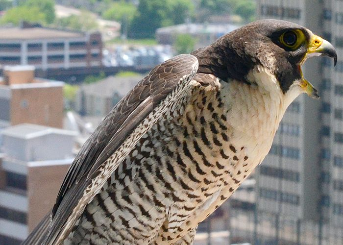 peregrine falcon management in pennsylvania Welcome to the elmwood park zoo, located in norristown, pennsylvania   peregrine falcons can be found nearly everywhere on the globe, except for  tropical.