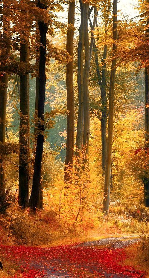 Tall trees in an autumn wood. Gorgeous yellow foliage #autumn