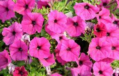 Garden Petunias, how to grow from seed.  Going to try this next spring, has to be cheaper