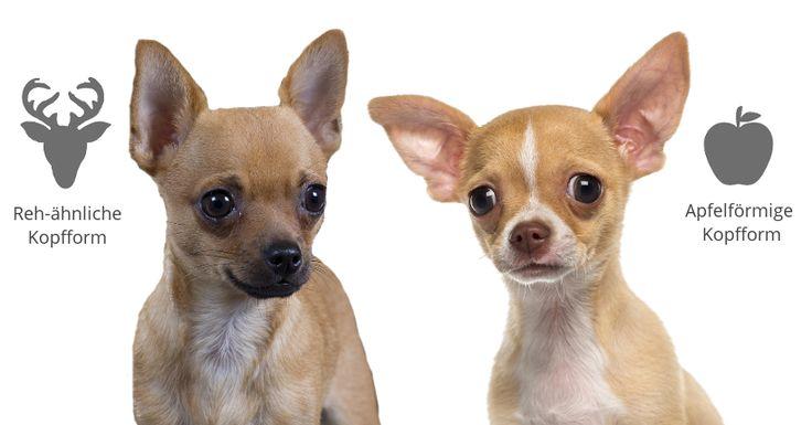 Chihuahua mit Apfelkopf oder Rehkopf?