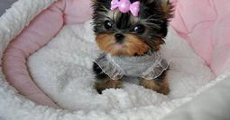 Teacup Yorkie puppy.  Being offered for adoption!