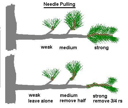 Pinus Parviflora Anese White Pine Bonsai Progression Series By Pruning