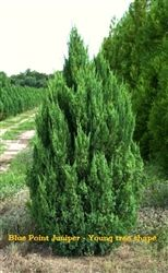 Blue Point Juniper  10-14 feet tall  Perfect for privacy hedge.