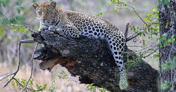 African leopard, Sabi Sand Game Reserve, South Africa
