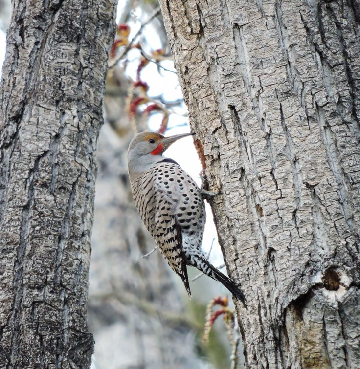 Northern Flicker ©Eileen Rutherford. Wild Bird Company - Boulder, CO. Saturday Morning Bird Walk at Centennial Trail - April 18, 2015