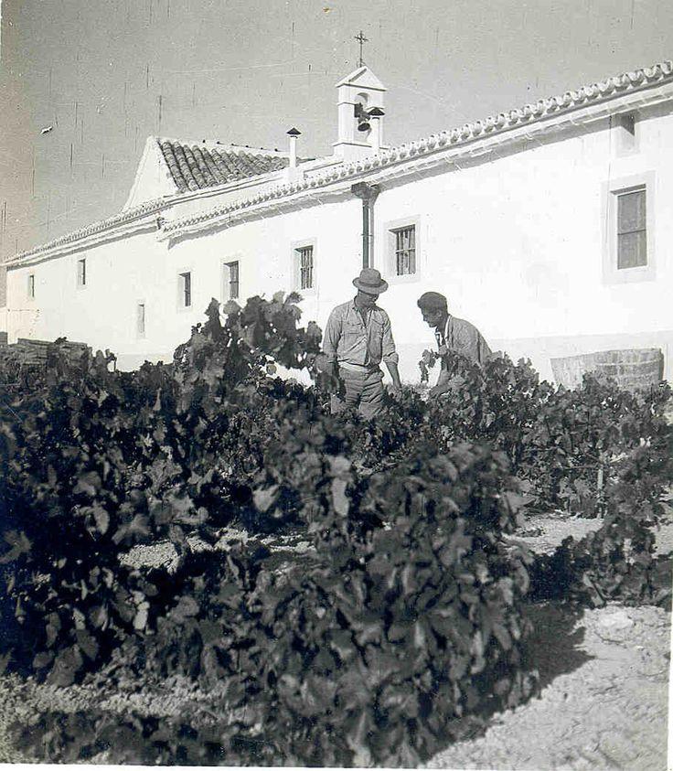 Vendimia. / The Harvest.