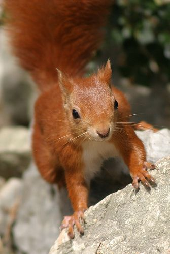Red Squirrel on the Isle of Wight #redsquirrel #isleofwight