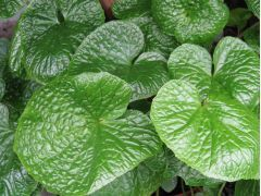 Wasabia japonica - wasabi, japonský křen Zahradnictví Krulichovi - zahradnictví, květinářství, trvalky, skalničky, bylinky a koření