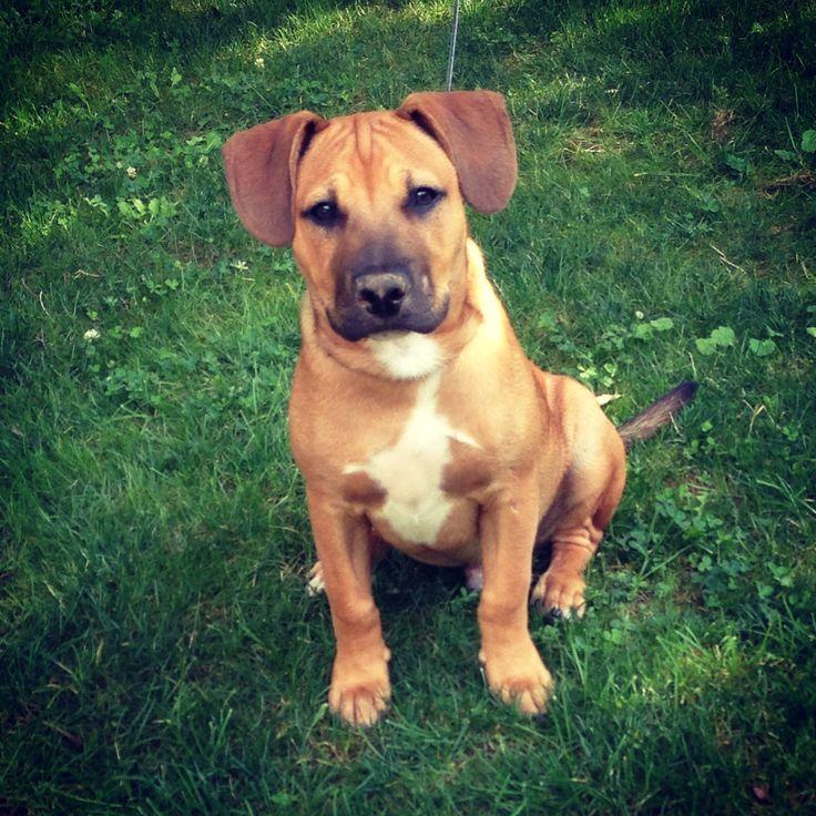 My pitbull boxer mix puppy <3