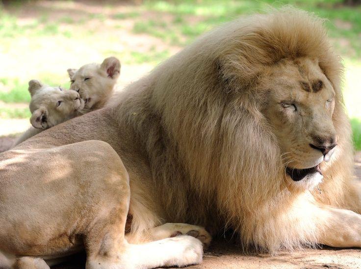 Una famiglia di leoni bianchi in Francia - Il Post