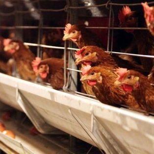 La OIE aprueba las primeras normas internacionales sobre el bienestar de los animales en los sistemas de producción pecuaria